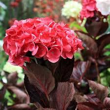 Hortensia Macrophylla merveille sanguine - hortensias