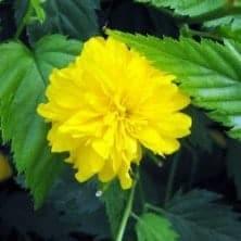 Corête du japon Flore Pleno - arbustes-fleurs