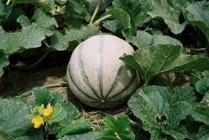 Melon - le-potager