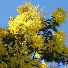 Mimosa dealbata - arbustes-a-fleurs-de-printemps