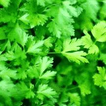 Persil plat - plantes-aromatiques-jardin