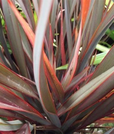 Phormium Duet - plantes-mediterranneennes