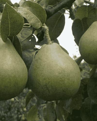 Poirier Doyenne du Comice - les-poiriers