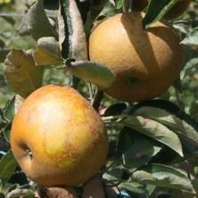 Pommier Reinette du Canada Grise - pommier, arbres-fruitiers