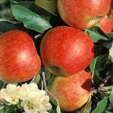 Pommier Elstar - pommier, arbres-fruitiers