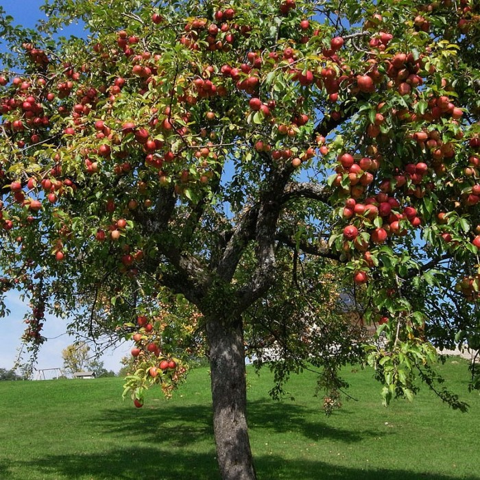 Pommier jonagold - pommier, arbres-fruitiers