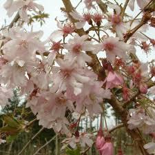 Prunus Subhirtella Autumnalis - destockage-saisonnier, arbustes-fleurs