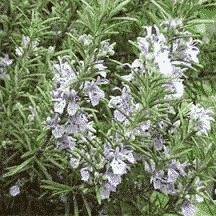 Romarin Rampant - plantes-aromatiques-jardin