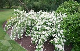 Seringat Manteau d'Hermine - arbustes-a-fleurs-dete