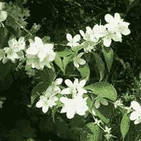 Seringat coronarius - arbustes-a-fleurs-de-printemps