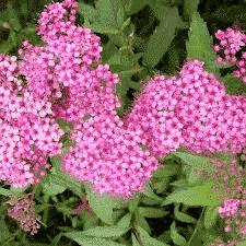 Spirée Anthony Waterer - arbustes-fleurs