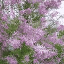 Tamaris d'été - arbustes-a-fleurs-dete