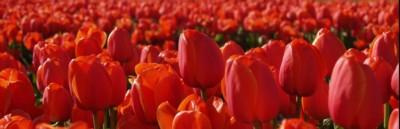 tulipe full hd