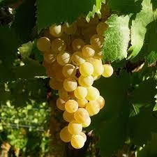 Vigne greffée Madeleine royale