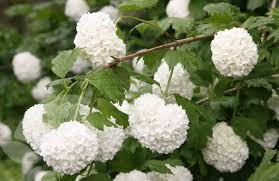 Boule de Neige - arbustes-a-fleurs-de-printemps