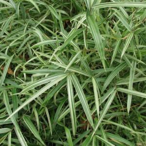 Bambou pleioblastus chino elegantissima