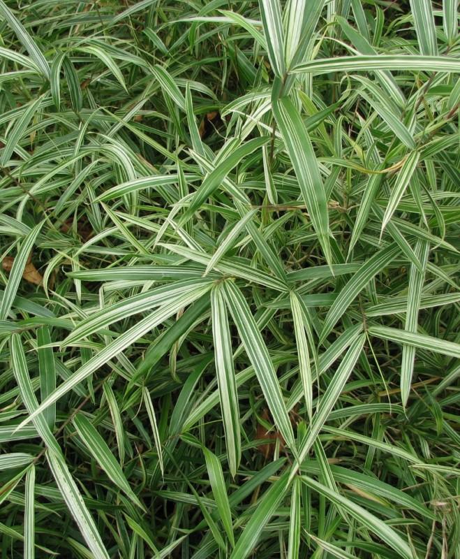 Bambou pleioblastus chino elegantissima - bambou