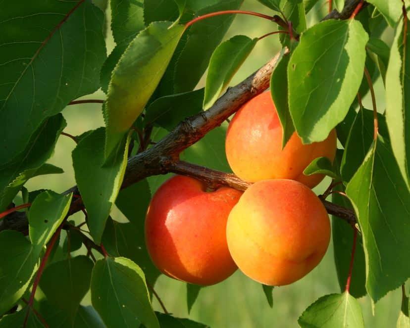 achat arbre fruitier pas cher plants et arbustes ljds. Black Bedroom Furniture Sets. Home Design Ideas