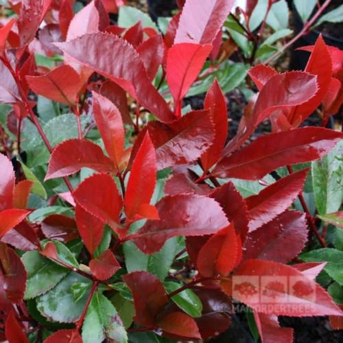Photinia Red Robin feuillage