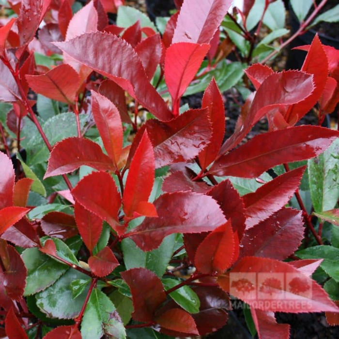Photinia Red Robin feuillage