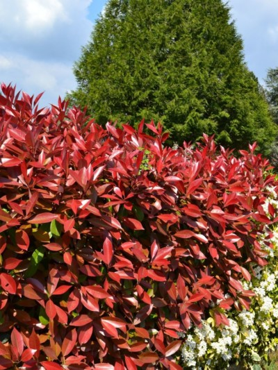 Photinia Red Robin - arbuste-haie-persistants