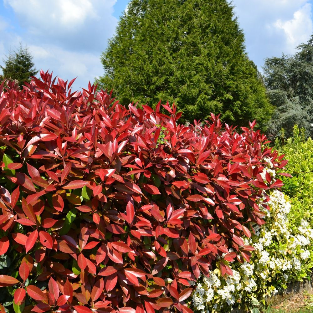 Photinia Red Robin haie multiple