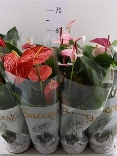 Anthurium - plantes-interieur