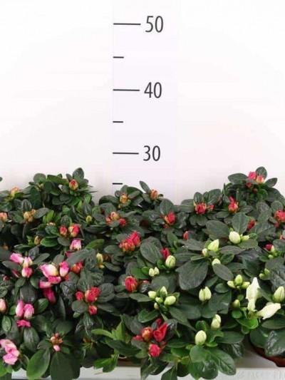 Azalée indica - plantes-saisonnieres