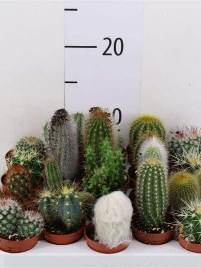 Cactus - plantes-interieur