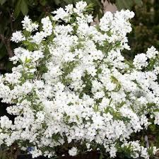 Exochorda - arbustes-a-fleurs-de-printemps