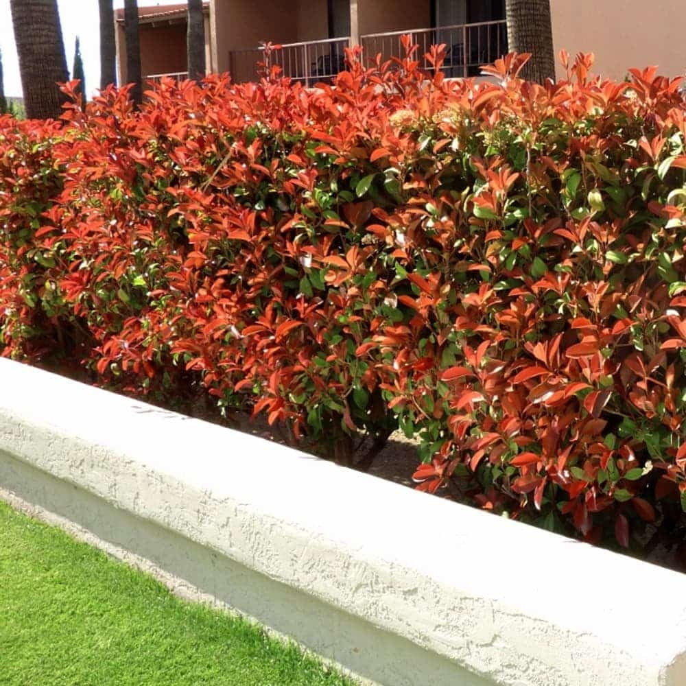 haie Photinia Red Robin