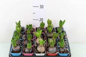 Jacinthe - plantes-saisonnieres