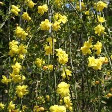 Jasmin d'hiver ( Jasminum Nudiflorum ) - plantes-grimpantes