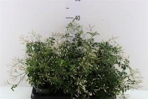 Jasmin polyanthum - plantes-saisonnieres