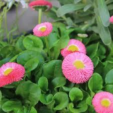 Pâquerette - plantes-saisonnieres
