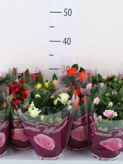 Mini Rosiers - plantes-saisonnieres