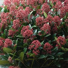 Skimmia Japonica Rubella - plantes-de-terre-de-bruyere, arbustes-fleurs