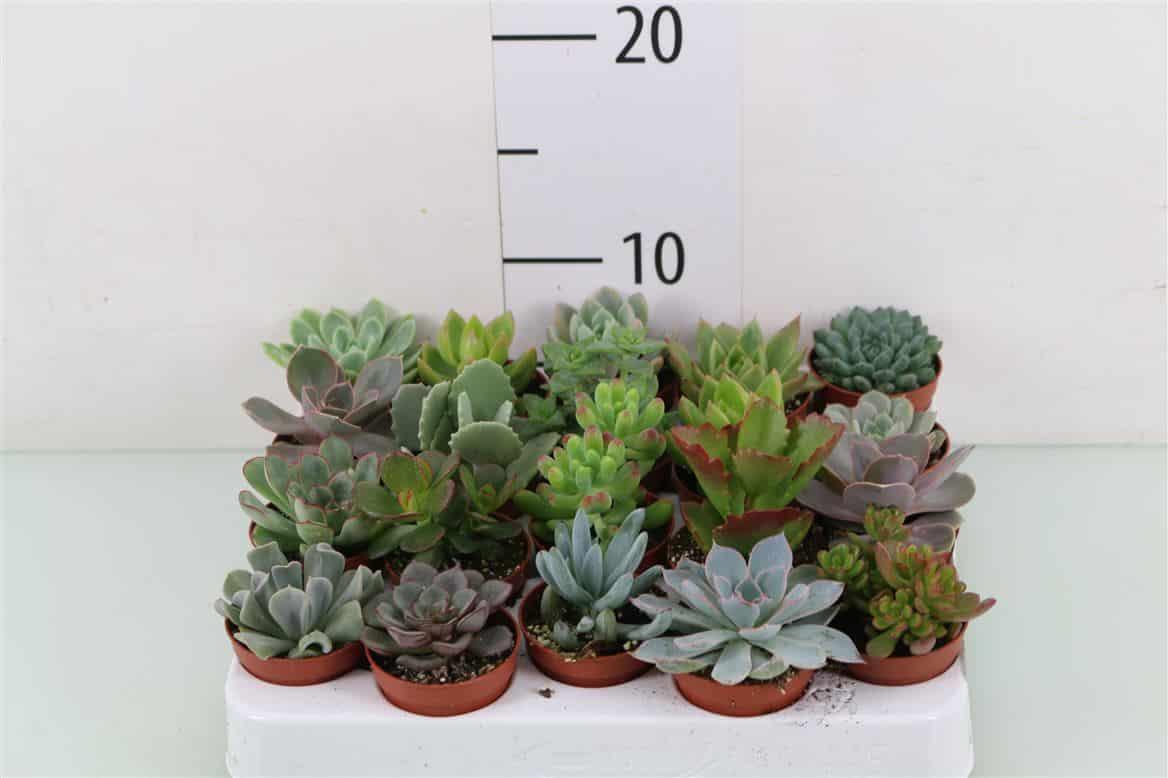 achat plantes grasses pas cher ljds. Black Bedroom Furniture Sets. Home Design Ideas