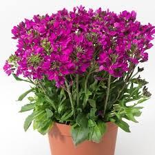 Arabis rose - plantes-saisonnieres