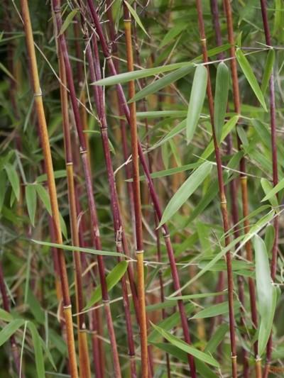Bambou Fargesia Red Panda - bambou