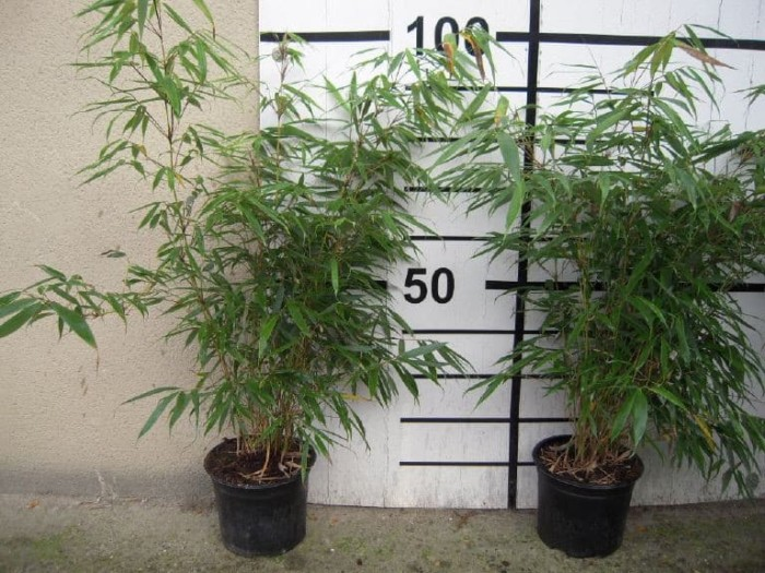 Bambou Fargesia Red Panda en pot