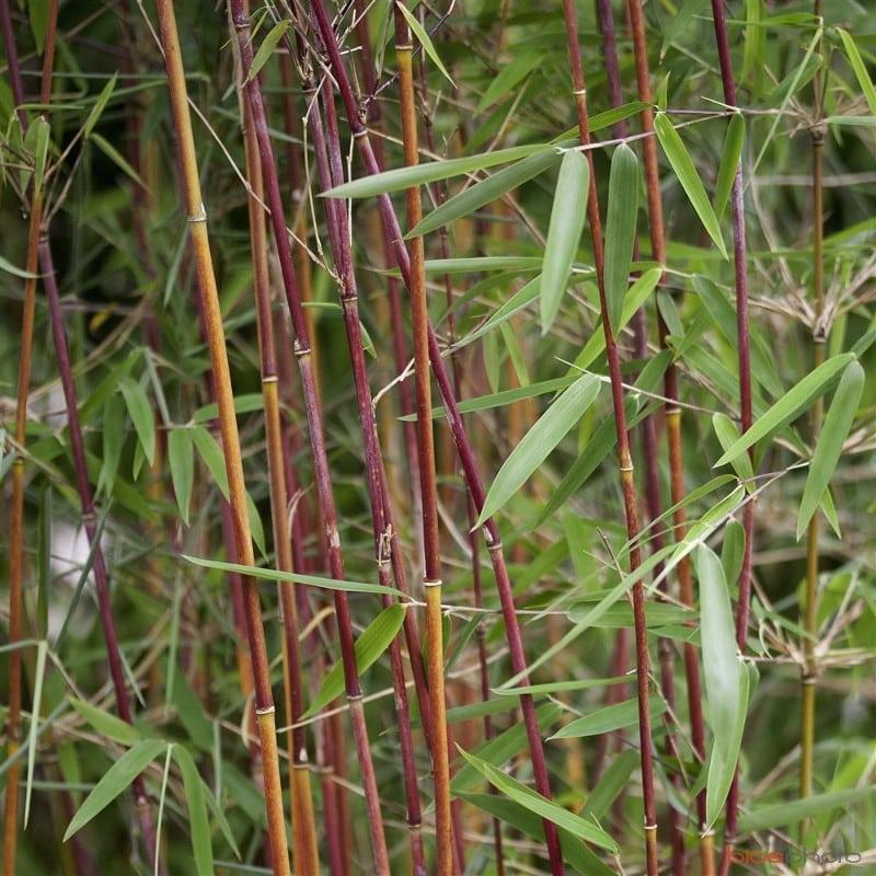 Bambou Fargesia Red Panda