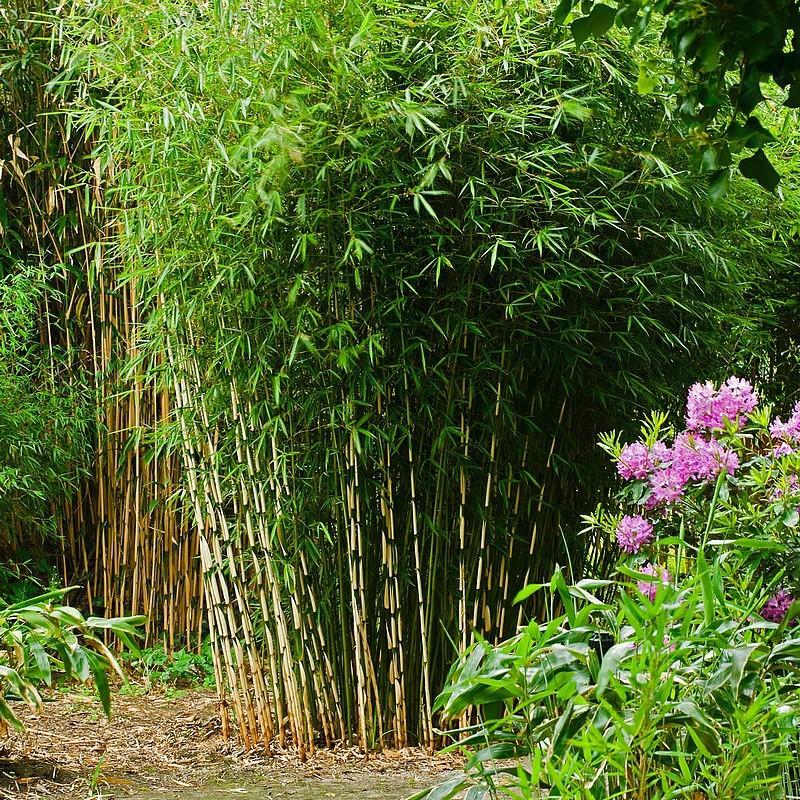 Bambou fargesia Robusta Campbell en bosqué