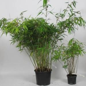 Bambou fargesia Robusta Campbell - bambou