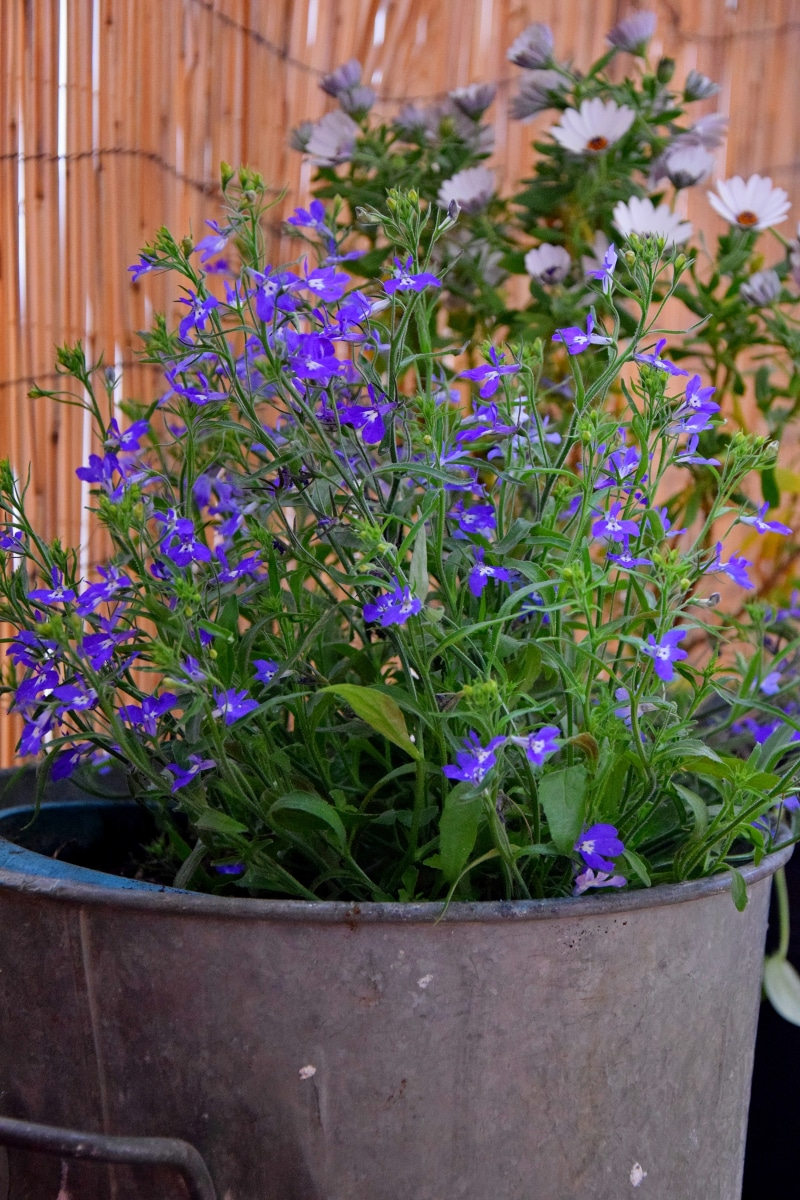Sauge Bleue - Salvia Blue Note en pot