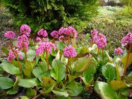 Bergenia en lot de 5 plants - plantes-couvre-sols