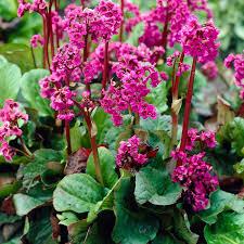 Bergenia - plantes-couvre-sols