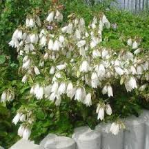 campanule blanche