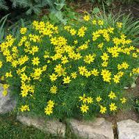 Coréopsis verticillata - plantes-vivaces