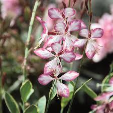 gaura freefolk rosy